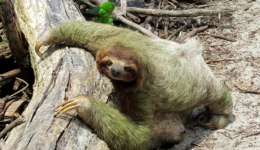 sloth_pixabay